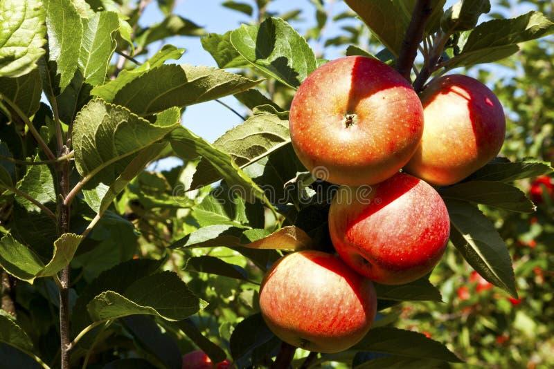Mogna röda äpplen på ett träd royaltyfria bilder