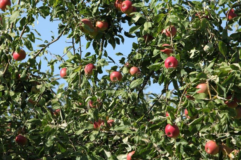 Mogna röda äpplen som hänger trädet arkivbild