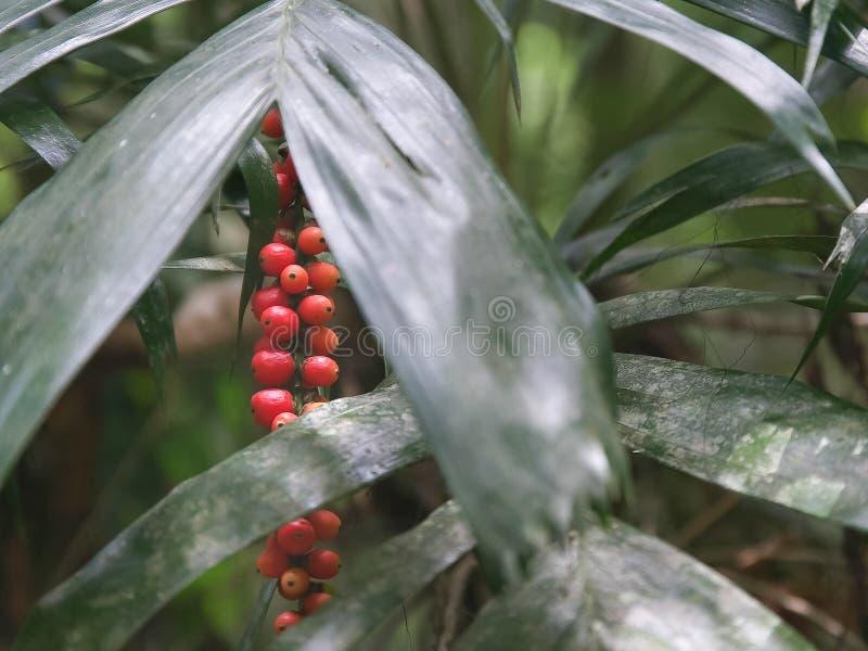 Mogna röda frukter på gömma i handflatan i lamingtonnationalparken, queensland royaltyfri foto
