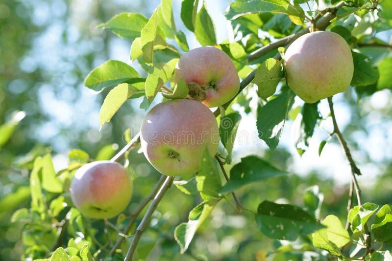Mogna röda, gröna och gula äpplen med sidor på äppleträdfilial royaltyfri foto