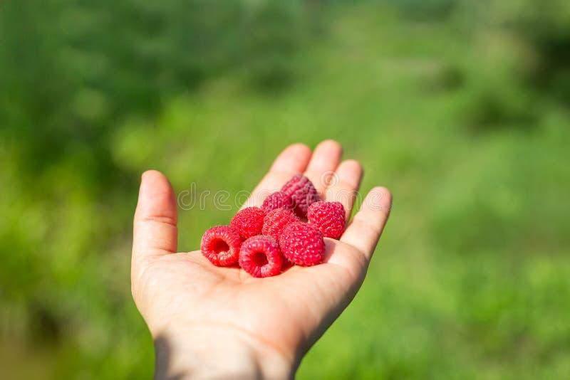 Mogna röda hallon i hand på suddig grön trädgårdbakgrund fotografering för bildbyråer
