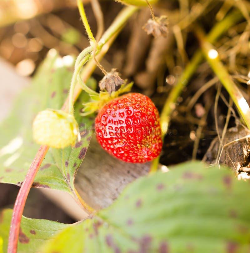 Mogna röda jordgubbar i trädgården royaltyfri fotografi