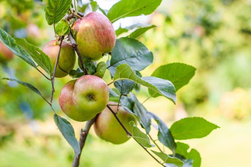 Mogna röda och gröna organiska äpplen royaltyfria bilder