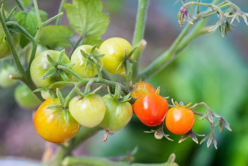 Mogna röda och omogna gröna körsbärsröda tomater på en filial arkivbild