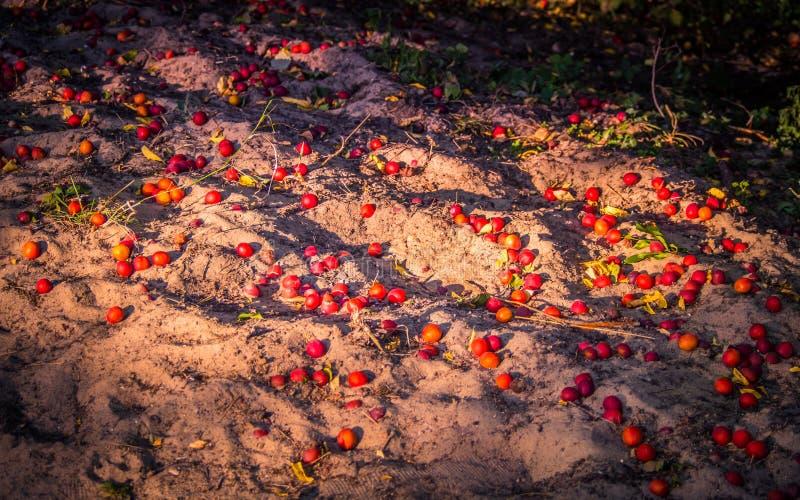 Mogna röda plommoner på den sandiga stranden royaltyfria foton