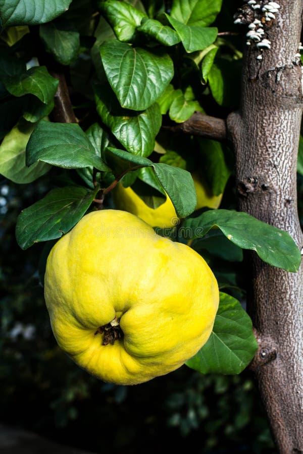 Mogna stora gula äpplekvitten som hänger på ett filialträd i en gard royaltyfri fotografi