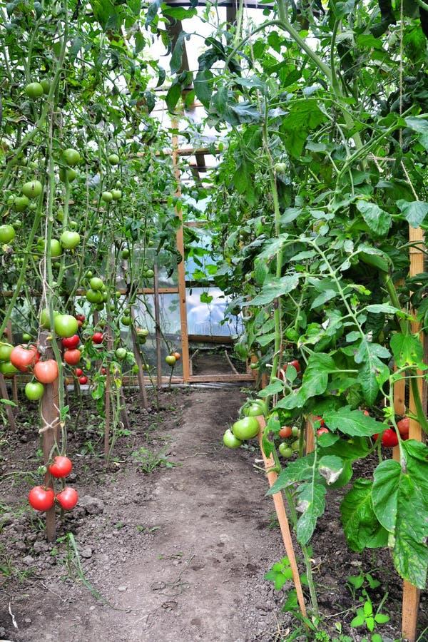Mogna tomater arkivbild