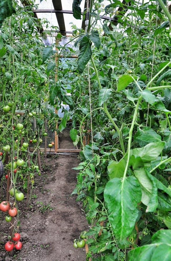 Mogna tomater royaltyfri foto