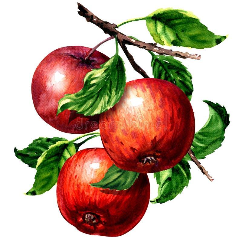 Mogna tre röda äpplen med sidor på den isolerade filialen, vattenfärgillustration på vit vektor illustrationer