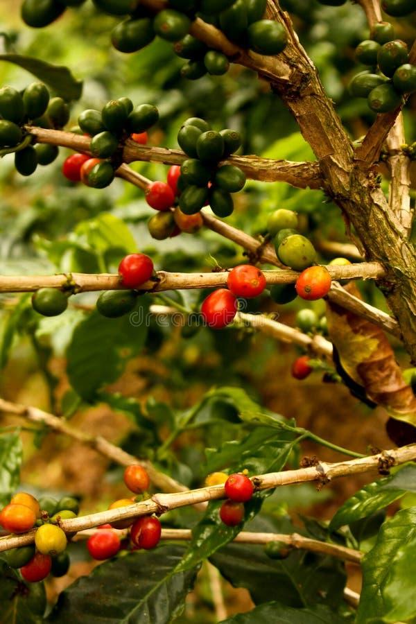 mogna växter för kaffe till arkivbild