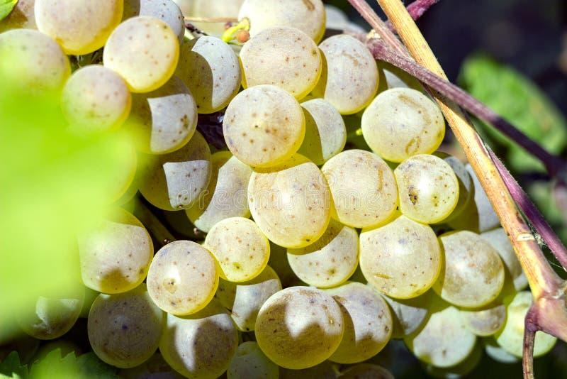 Mogna vita druvor på en filial på en härlig solig dag arkivbilder