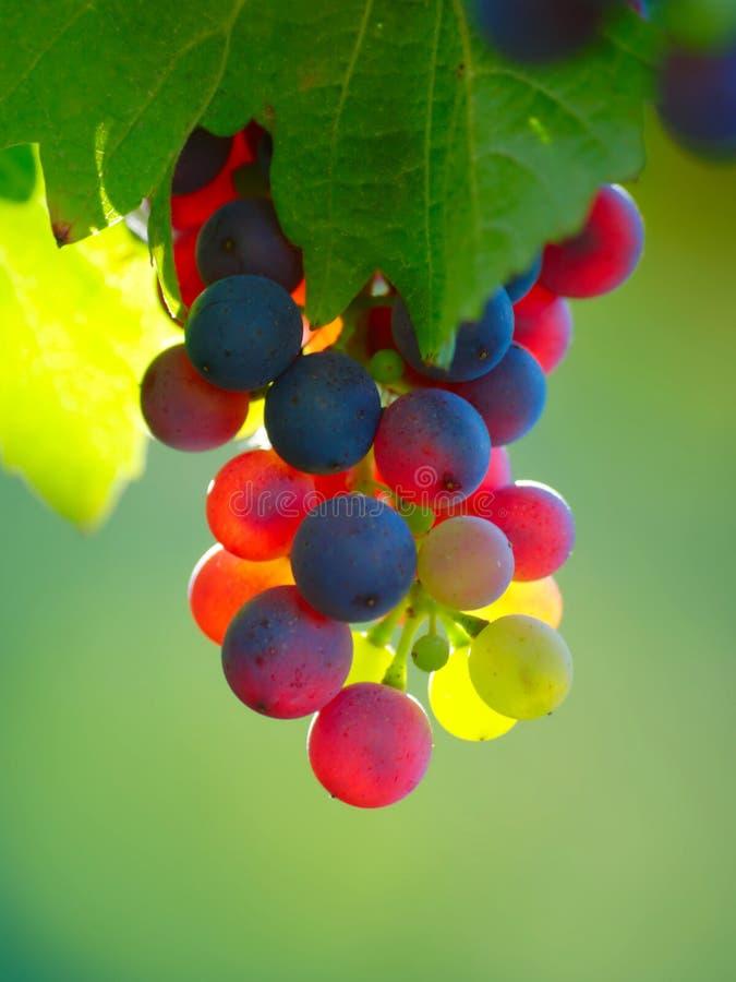 Mognande druvor i vingård royaltyfri fotografi