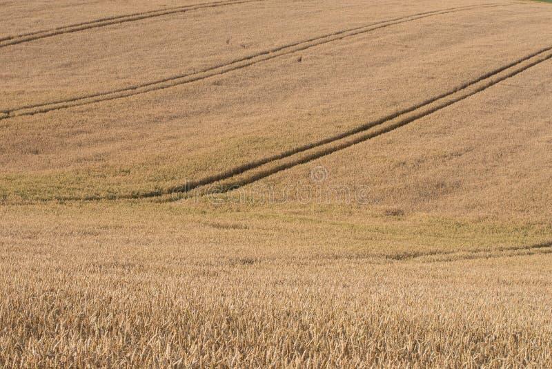 Mognande korn av öron i fältet royaltyfria bilder