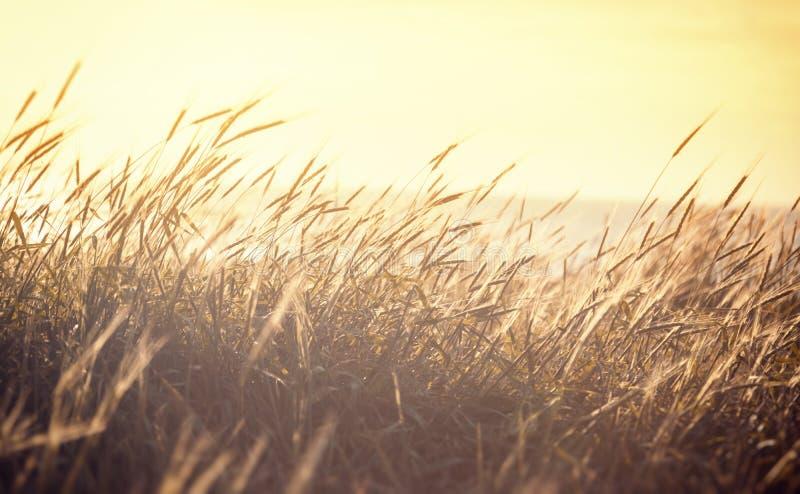 Mognande spikelets av det guld- vetefältet på solnedgången Solstrålar arkivbilder