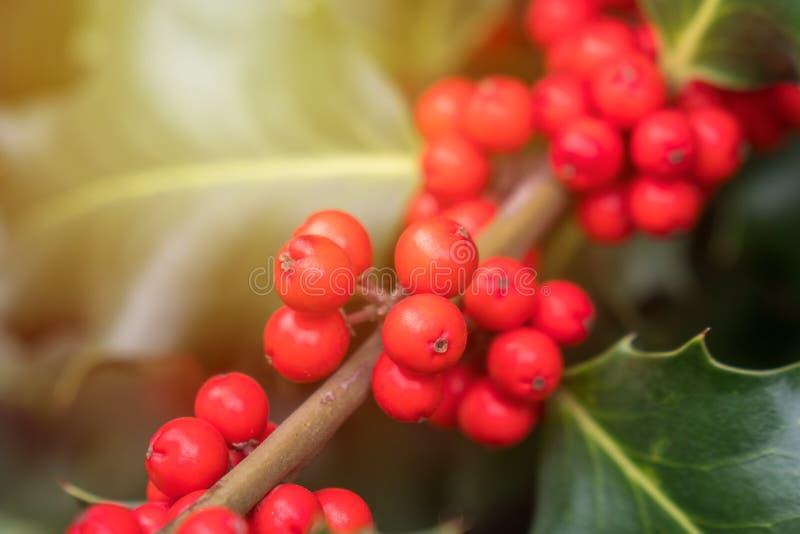 Mognar grön lövverk för järnek med röda bär Ilexaquifolium eller juljärnek royaltyfri fotografi