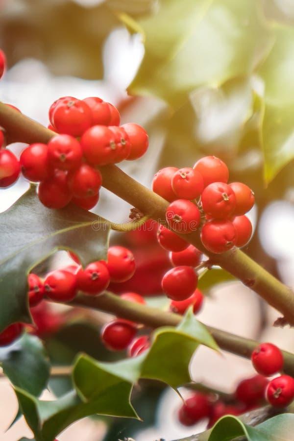 Mognar grön lövverk för järnek med röda bär Ilexaquifolium eller juljärnek royaltyfria bilder