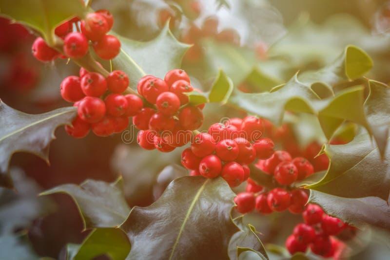 Mognar grön lövverk för järnek med röda bär Ilexaquifolium eller juljärnek royaltyfri foto
