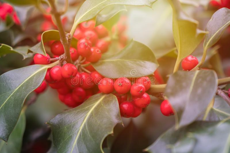 Mognar grön lövverk för järnek med röda bär Ilexaquifolium eller juljärnek arkivfoto