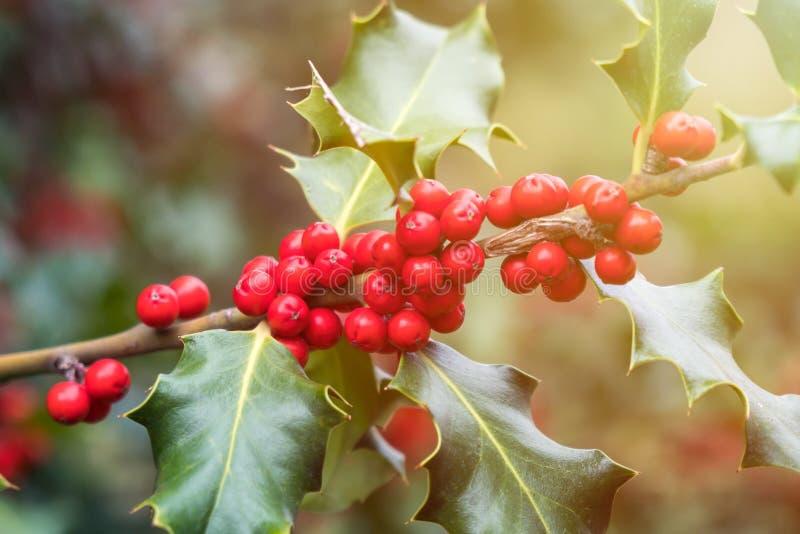 Mognar grön lövverk för järnek med röda bär Ilexaquifolium eller juljärnek arkivfoton