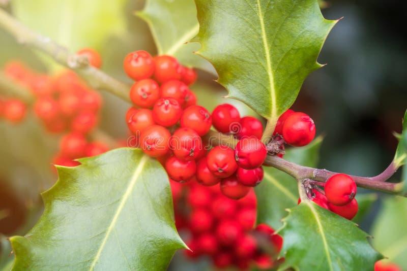 Mognar grön lövverk för järnek med röda bär Ilexaquifolium eller juljärnek fotografering för bildbyråer