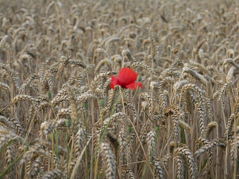 Mohnblume alleine im Weizen lizenzfreies stockbild