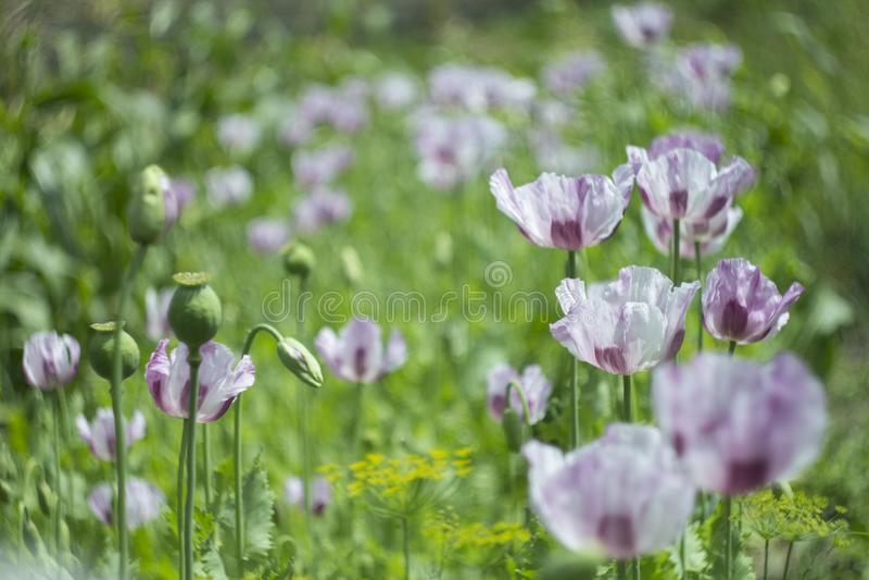 Mohnblume blüht im grünen Hintergrund auf Sommerwiese stockbild
