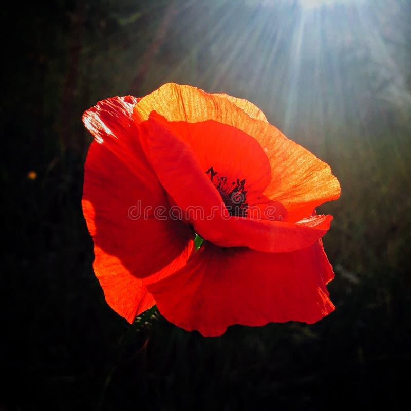 Mohnblume in der Hintergrundbeleuchtung lizenzfreies stockfoto