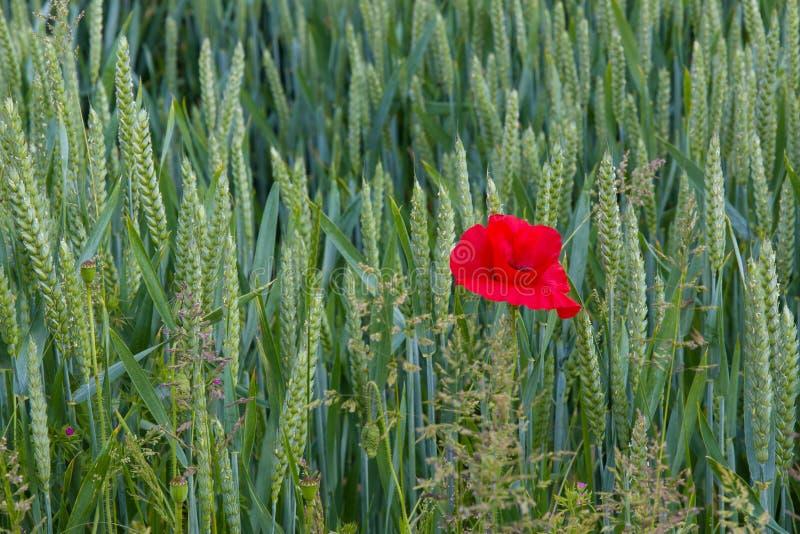 Mohnblume im Weizen-Feld-Recht lizenzfreies stockfoto