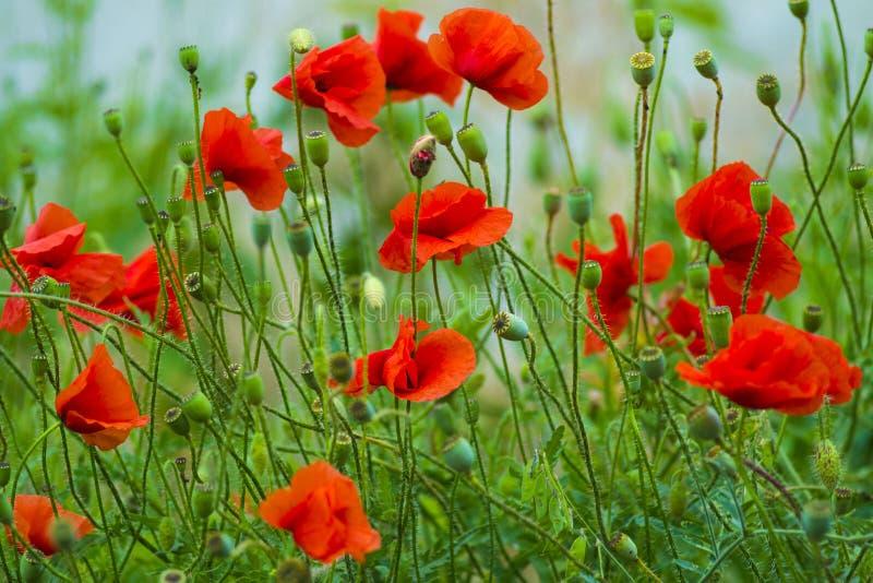 mohnblume Rote Mohnblume Rote Mohnblumenblüte der Blumen auf wildem Feld bea stockfotografie