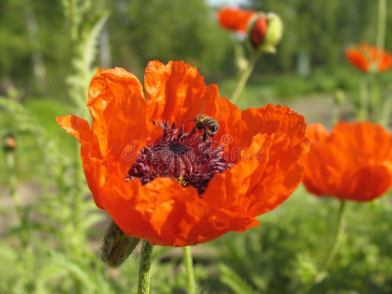 Mohnblume und die Biene. stockfotos