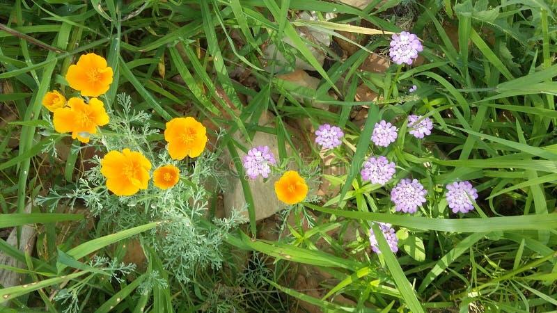 Mohnblume und hellpurpurne Blumen stockfoto
