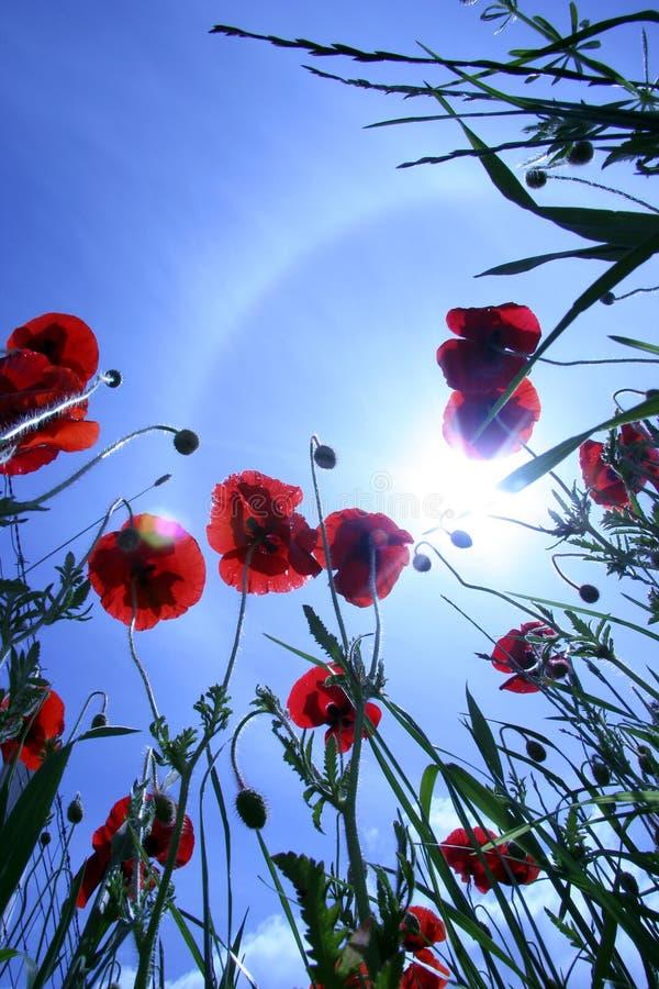 Mohnblume und Himmel lizenzfreies stockbild