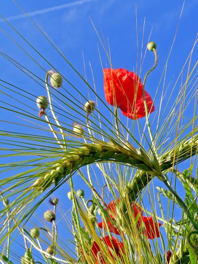 Mohnblume und Weizen lizenzfreie stockfotos