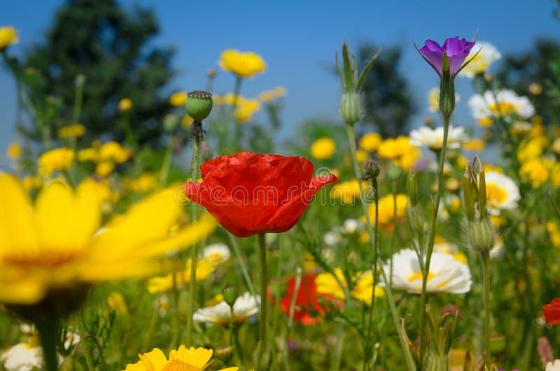Mohnblume unter Gänseblümchen lizenzfreie stockfotos