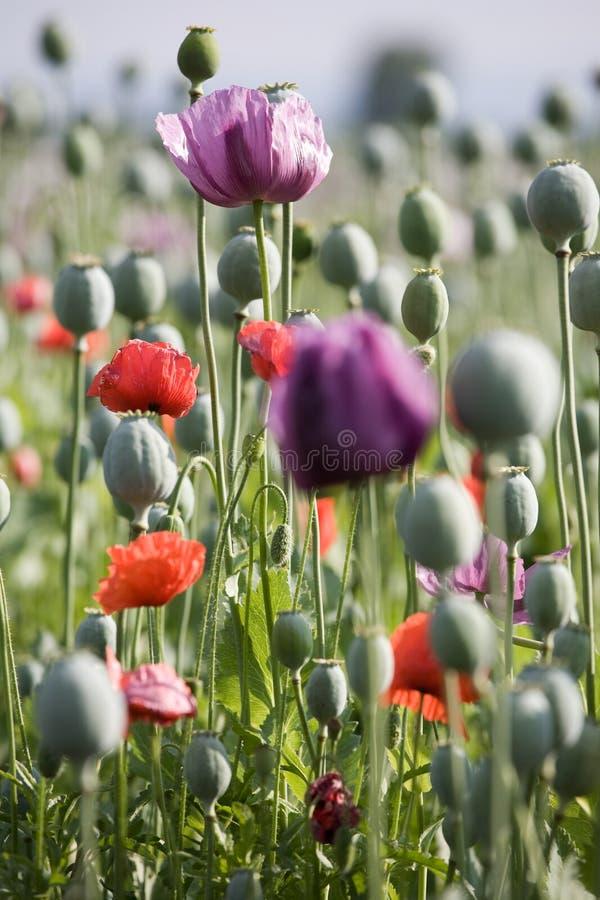 Mohnblumeblüte lizenzfreies stockfoto