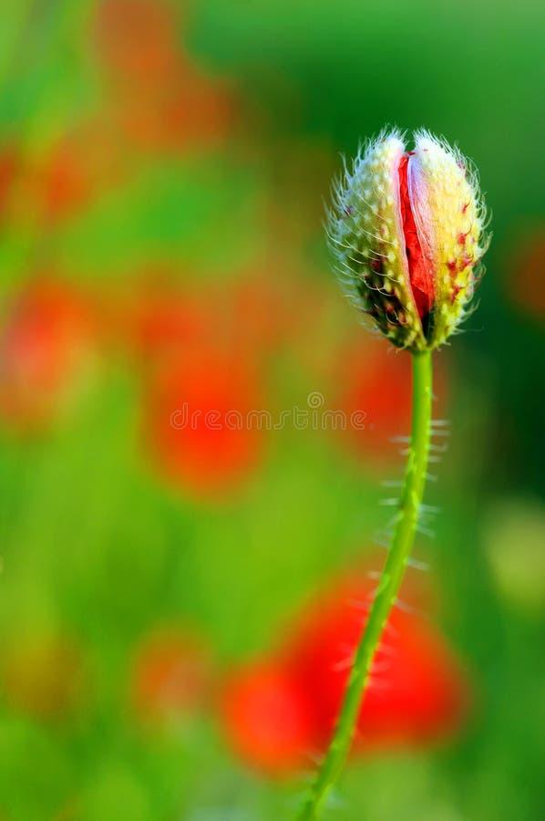 Mohnblumeblume stockbild