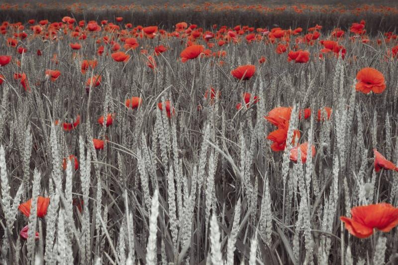 Mohnblumen auf einem Gebiet stockfotografie