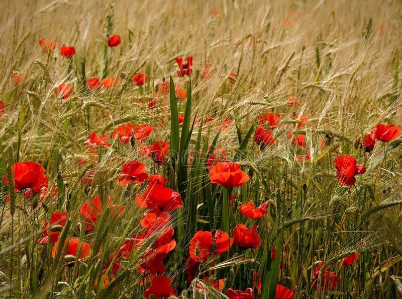 Mohnblumen und reifer Weizen lizenzfreies stockfoto