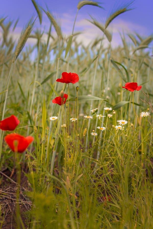 Mohnblumen auf einem Weizengebiet stockbild