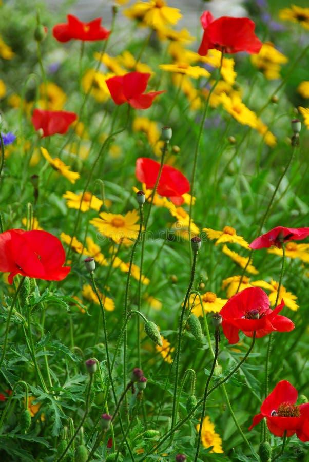 Mohnblumen in einem Garten stockbild