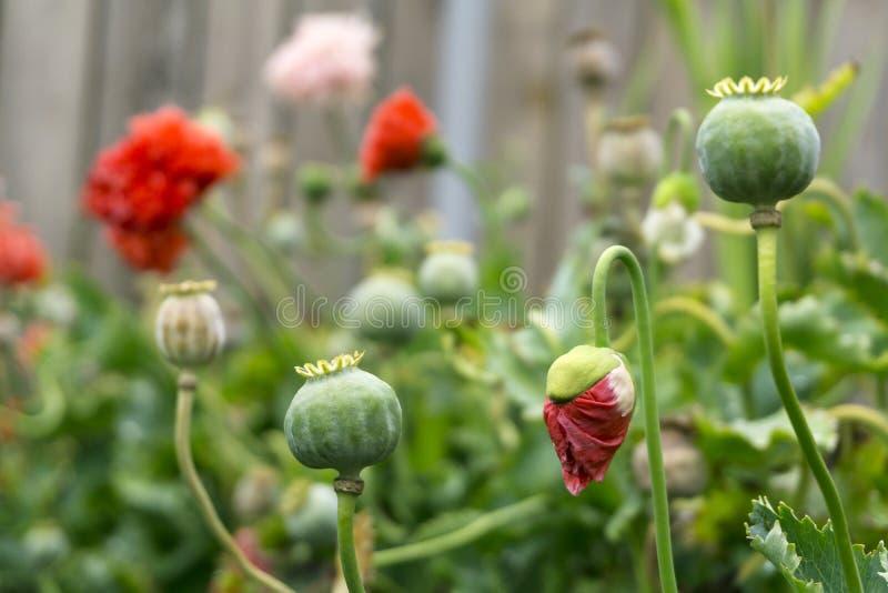 Mohnblumen im Hof nach dem Regen lizenzfreie stockfotografie