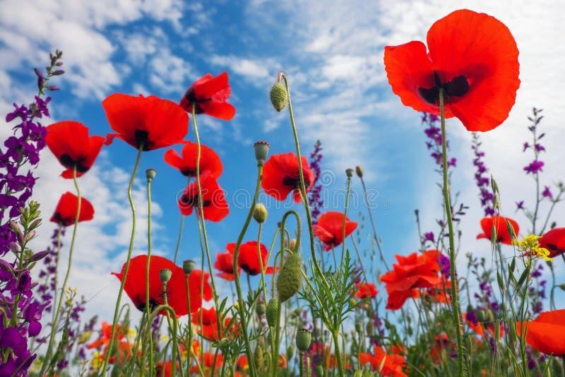 Mohnblumen und andere schöne Blumen stockfotos
