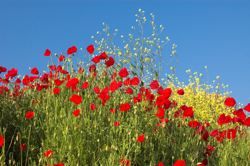 Mohnblumen und Himmel 3 lizenzfreie stockbilder