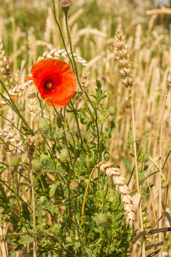 Mohnblumenblume unter Weizenähren stockbilder