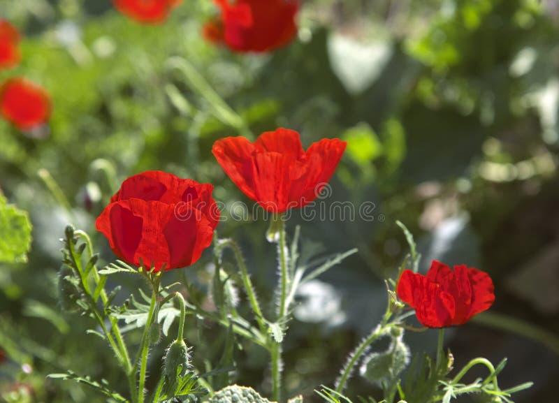 Mohnblumenblumen auf einer Wiese lizenzfreie stockbilder