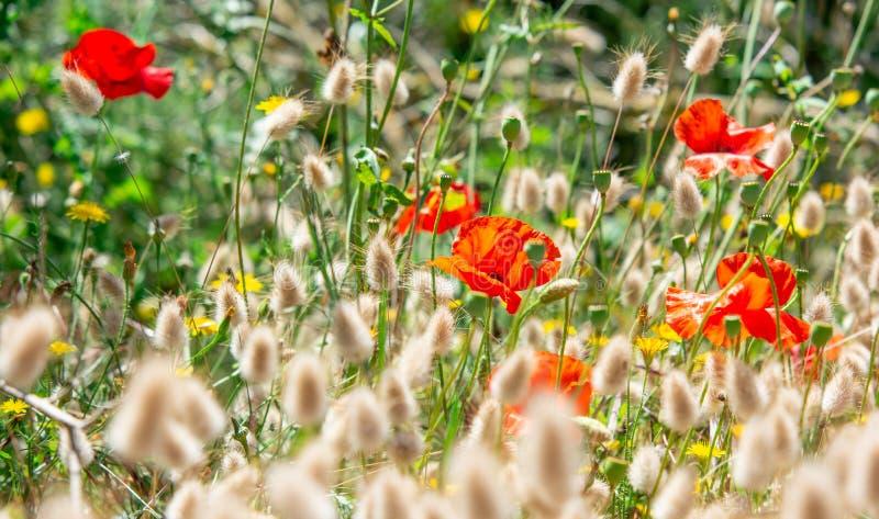 Mohnblumenfeld, rote Blumen im wilden stockbilder