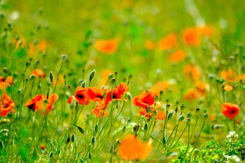 Mohnblumenwiese am Sommer lizenzfreies stockfoto