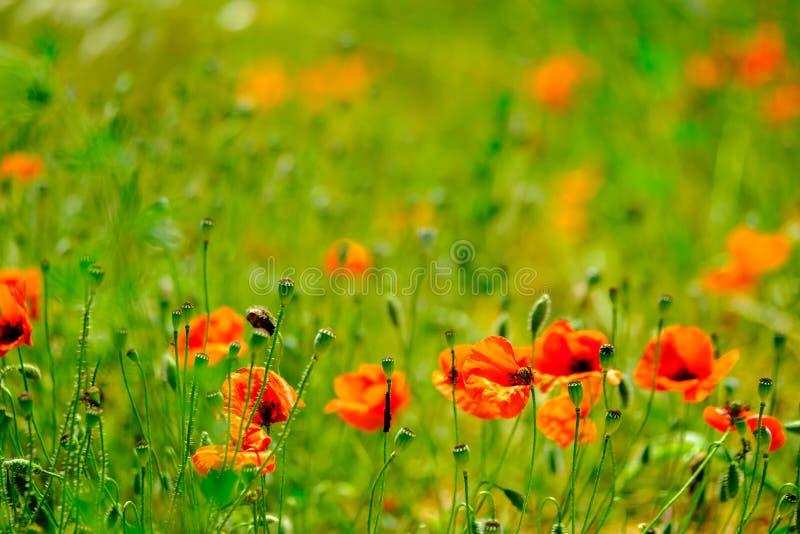 Mohnblumenwiese am Sommer lizenzfreies stockbild