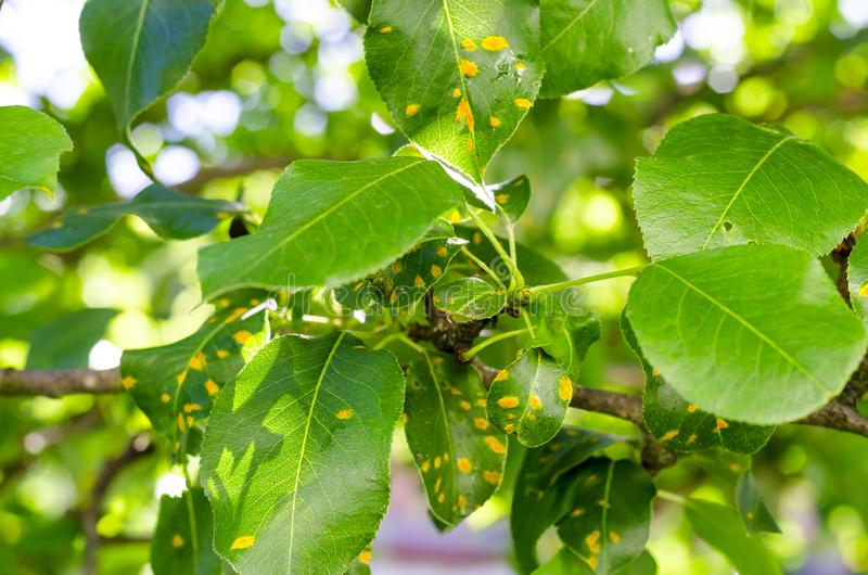 Moho en las hojas de la pera, enfermedad del plantón de frutal imagen de archivo