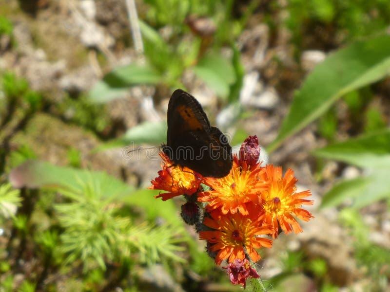 Mohr stapplar den orange blomningen för fjärilen av en morotsfärgad hawkweed royaltyfria foton